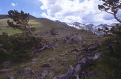 Arapahoe glacier trail bristlecones: as scanned