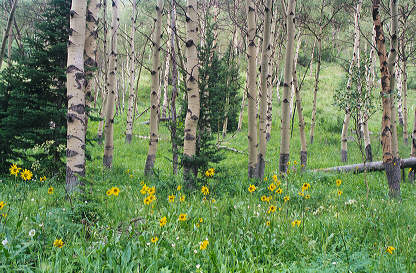 Aspens near Vail, Colorado. Click for enlarged image.
