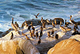 La Jolla birds; Color before 1999