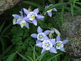 Columbines; Images 2003