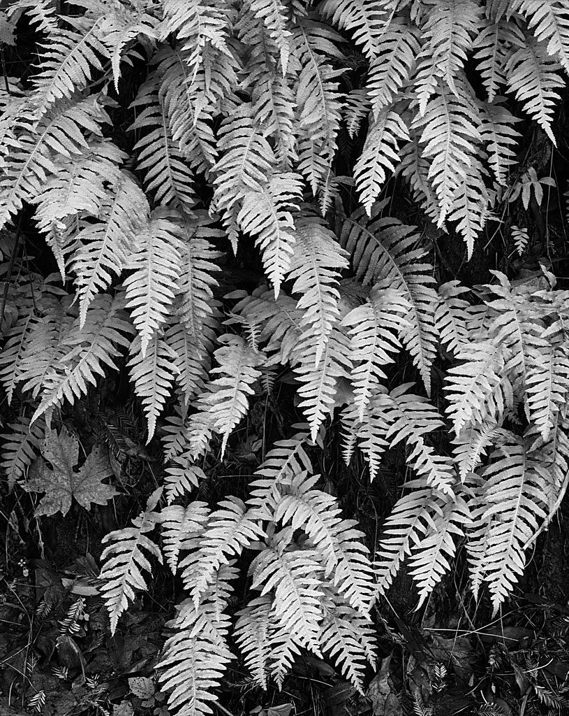 Ferns_77-lighter-1024H