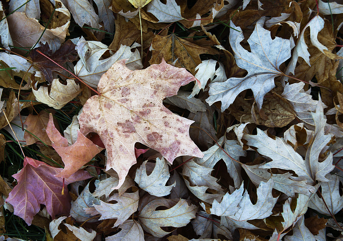Pale_leaves_mod4SH_5565-1200W